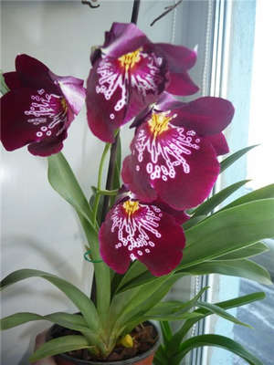 Цветы мильтонии