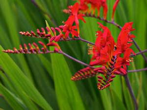 Цветы монтбреции