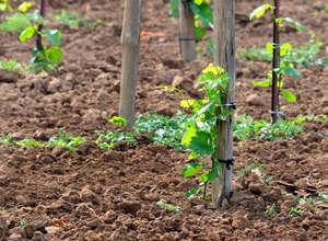 Молодые побеги винограда