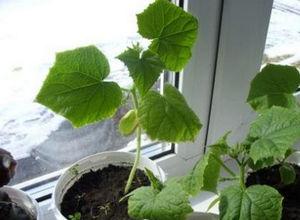 Выращивание зимой