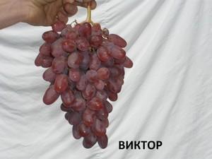 Виктор виноград