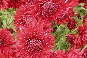 Сорт хризантемы Дуслык 450