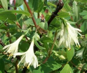 Цветы съедобной жимолости
