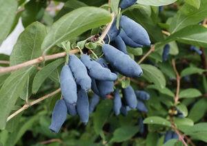 Плоды сорта Синяя птица