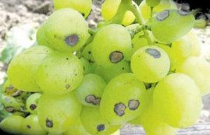 Антрактоз на ягодах
