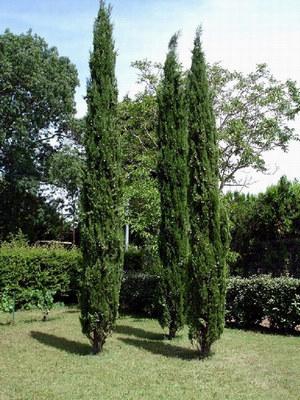 Кипарис в саду