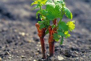 Черенок винограда