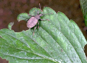 Жук долгоносик на листе