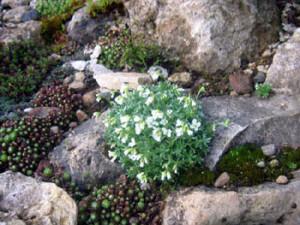Арабис на каменистых склонах