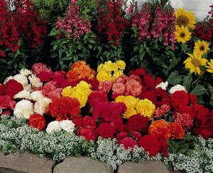 Цветы бегонии в саду