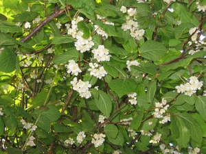 Актинидия цветы