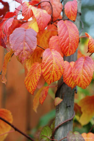 Актинидия осенью