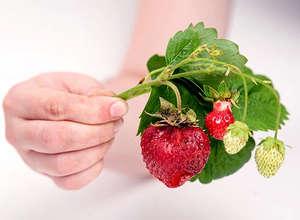 Больные плоды земляники