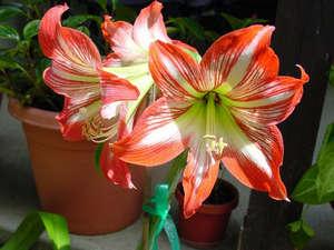 Цветение амарилисса