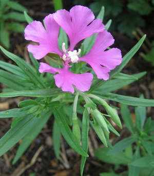 Цветок кларкии