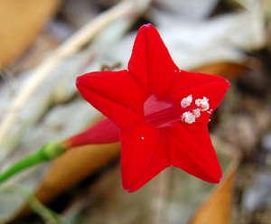 Цветок квамоклита
