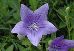 Цветок платикодона