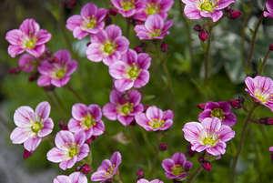 Цветы камнеломки