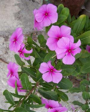 Цветы катарантуса