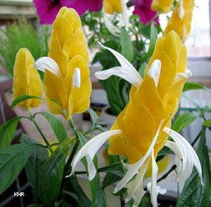 Цветы пахистахиса