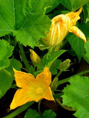 Цветы патиссонов