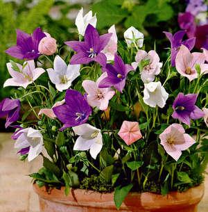 Цветы платикодона