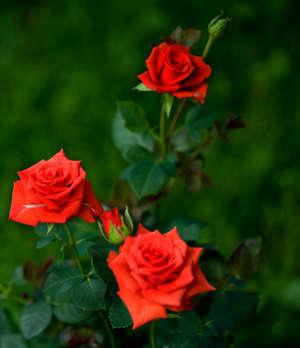 Цветы розы Кордана