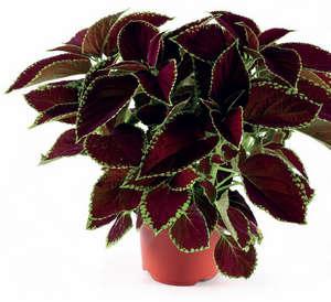Колеус - уход в домашних условиях летом и зимой (фото растения)