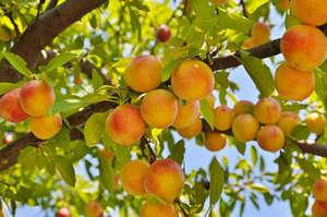 Плоды персики