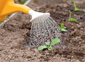 Полив ростков капусты