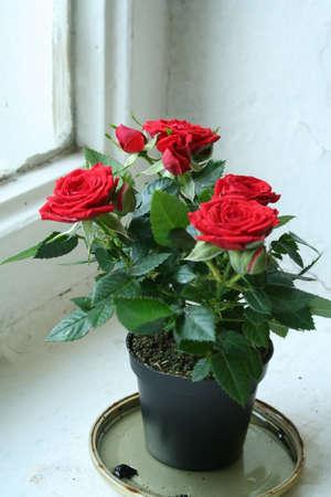 Роза кордана уход в домашних условиях
