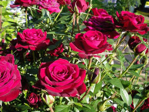 Розы Кордана в саду
