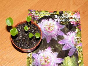 Семена и росток пассифлоры