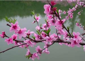 Ветка персикового дерева