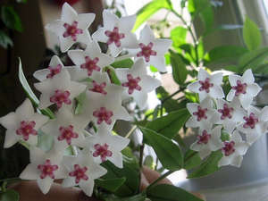 Цветок любви комнатный