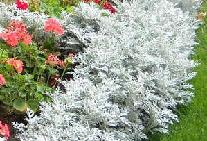 Цинерария Серебристая - выращивание из семян дома и на садовом участке (фото и видео материал)