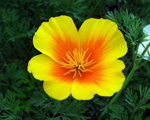 Цветок эшшольции