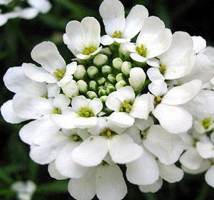 Цветок ибериса