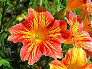 Цветок сальпинглоссиса