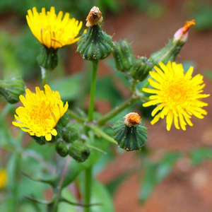 Цветы осота