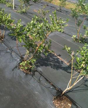Черника фото растения
