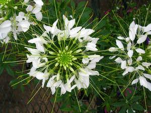 Соцветия клеомы