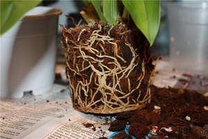 Земляной ком орхидеи