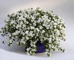Выращивание бакопы из семян, размножение и уход за цветами (фото сортов)