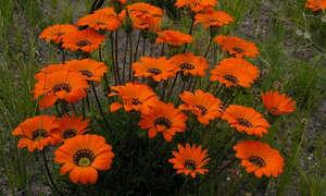 Выращивание газании на рассаду из семян в домашних условиях (фото и видео инструкции)
