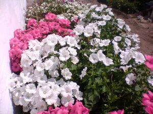 Лаватера в саду