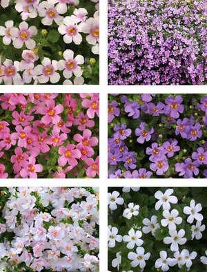 Бакопа разный окрас цветков