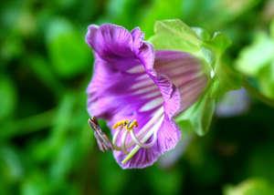 Цветок кобеи