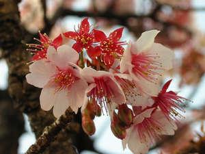 Цветок войлочной вишни