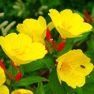 Цветы энотеры